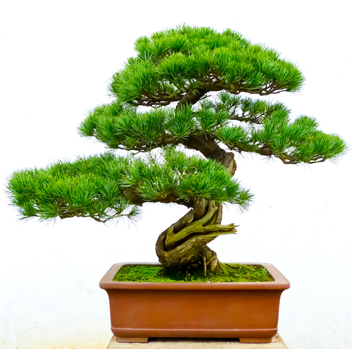 Bonsai Porady Leroy Merlin