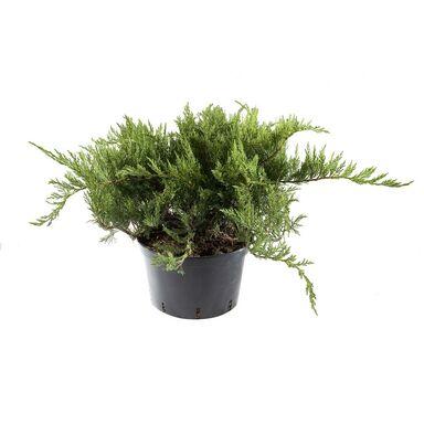 Jałowiec sabiński 'Tamariscifolia' 40 - 60 cm