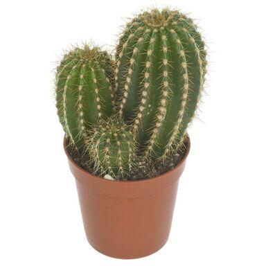 Kaktus MIX 12 cm