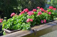 Sadzimy rośliny balkonowe