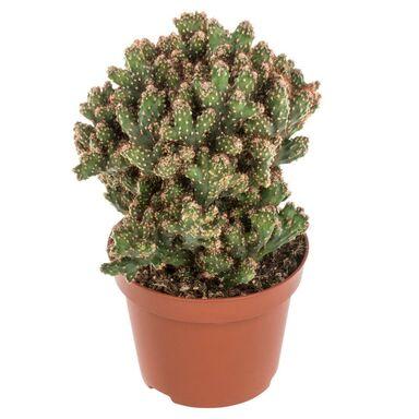 Kaktus MIX 18 cm