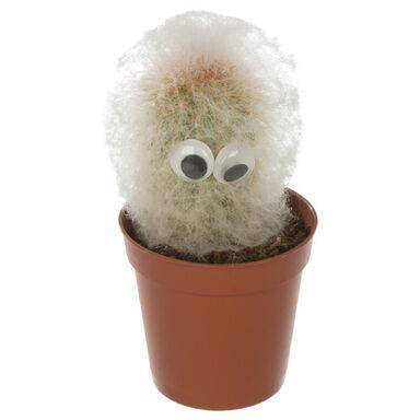 Kaktus Espostoa z dekoracją 10 cm