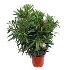 Oleander MIX 80 - 100 cm