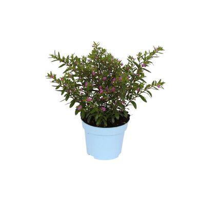 Roślina ogrodowa Cuphea 25 cm