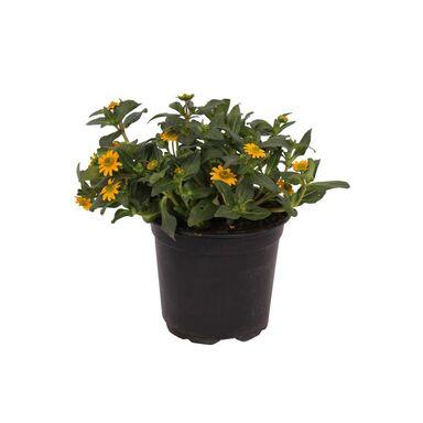 Roślina kępiasta Sanwitalia 10 - 15 cm