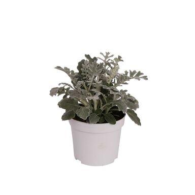 Roślina kępiasta Starzec popielny 10 - 15 cm