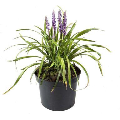 Roślina ogrodowa Liriope szafirkowata 20 - 30 cm