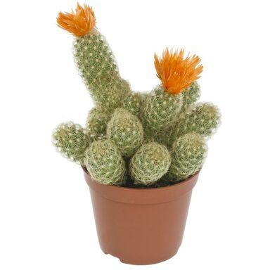 Kaktus z suszonymi kwiatami MIX 20 cm