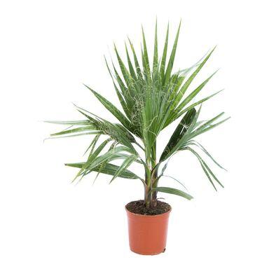 Waszyngtonia robusta 55 cm