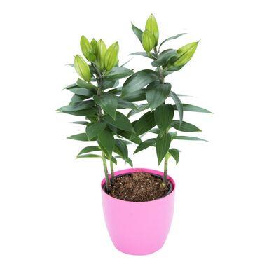 Lilia Orientalna MIX 45 cm