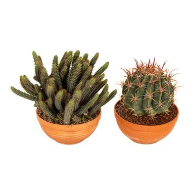 Kaktus MIX 30 cm