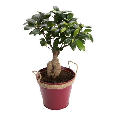 Bonsai Ficus Ginseng 50 cm