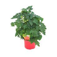 Pomidor balkonowy koktajlowy MIX 20 - 30 cm TWOJA PLANTACJA