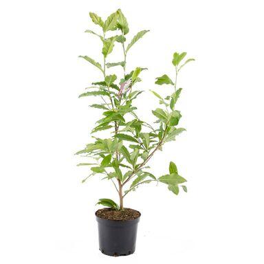 Magnolia MIX 80 - 120 cm