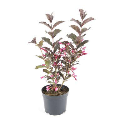 Krzewuszka 30 - 40 cm