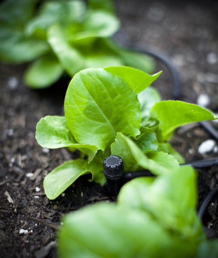 Rośliny nawadniane systemem kropelkowym