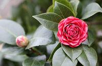 Wymagające kamelie o pięknych kwiatach