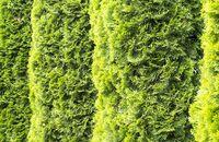 Sadzenie żywotników – najpopularniejszych iglaków w naszych ogrodach