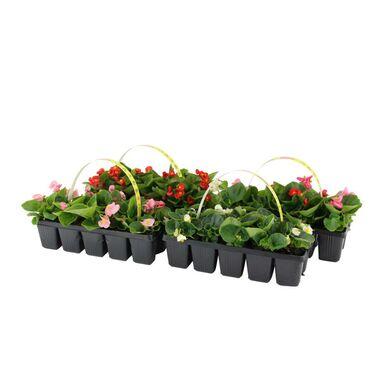 Begonia MIX 10 - 15 cm 10-pak