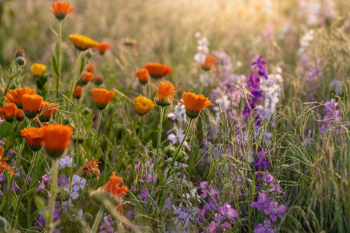 Kolorowa kwitnąca łąka ziołowa, skąpana w promieniach słońca.