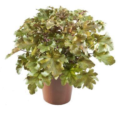 Roślina ogrodowa MIX Żurawka 20 - 30 cm
