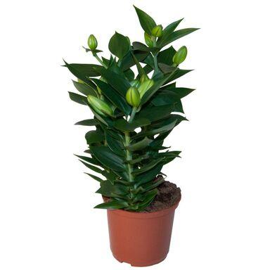 Lilia Orientalna Mix 50 Cm