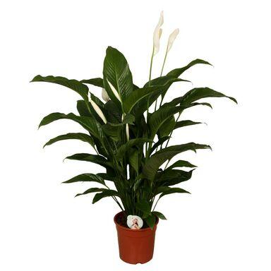 Skrzydłokwiat 'Sweet Lauretta' 90 cm