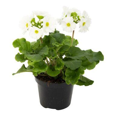 Pierwiosnek kubkowaty biały 28 cm Primula
