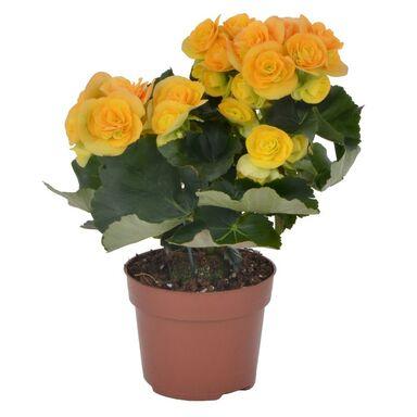 Begonia zimowa MIX 25 cm