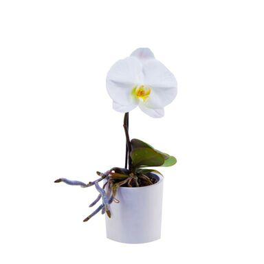 Storczyk Falenopsis Singolo 1 Ped 20 30 Cm Rosliny Kwitnace W Atrakcyjnej Cenie W Sklepach Leroy Merlin