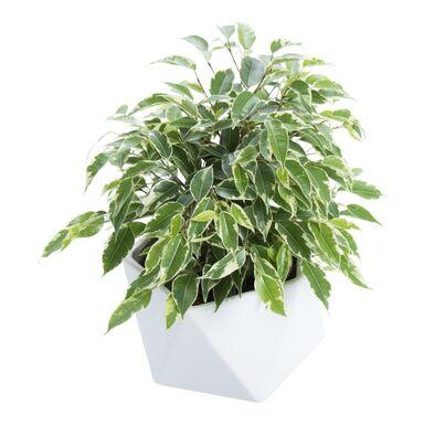 Rośliny zielone w osłonce ceramicznej MIX 30 cm