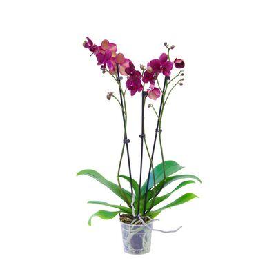 Storczyk Falenopsis 3 pędy MIX 60 - 70 cm