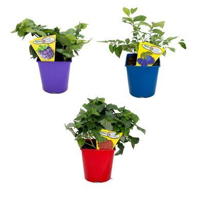 Krzewy owocowe MIX 40 - 60 cm TWOJA PLANTACJA