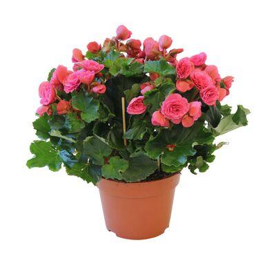 Roślina pokojowa MIX 35 cm