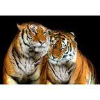 Fototapeta TIGERS 146 x 208 cm