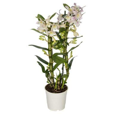 Storczyk Dendrobium nobile 2 pędy MIX 45 - 55 cm