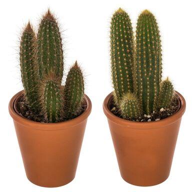 Kaktus w doniczce glinianej MIX 15 cm