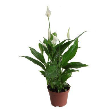 Skrzydłokwiat 30 cm