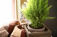 Rośliny ogrodowe, które możemy wykorzystać w domu na święta