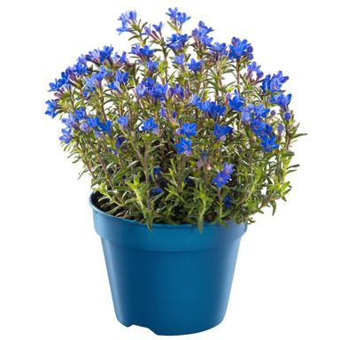Nawrot rozpierzchły 'Heavenly Blue' 15 - 20 cm