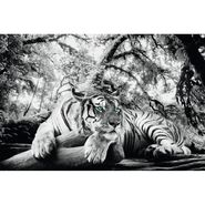 Plakat TIGER IS WATCHING YOU 91.5 x 61 cm