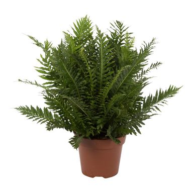 Podrzeń (Blechnum) 'Silver Lady' 45 - 50 cm AIR SO PURE