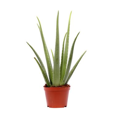Aloes 60-75 cm
