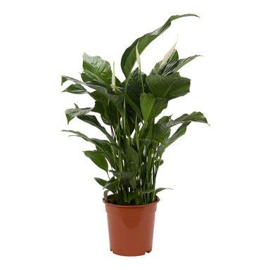 Skrzydłokwiat 'Sweet Lauretta' 100 cm AIR SO PURE