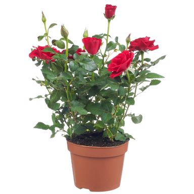 Róża miniaturowa MIX 20 cm