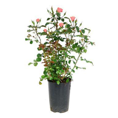 Róża MIX 65 cm