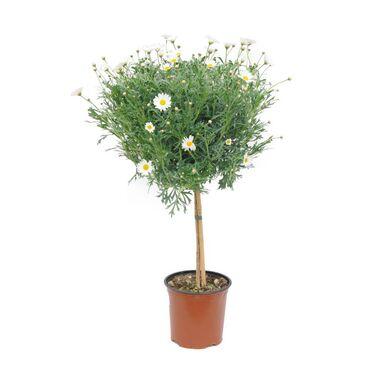 Margerytka biała (Złocień krzewiasty forma pienna) 50 - 60 cm