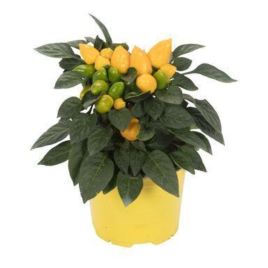 Papryka roczna 'Samba' MIX 20 cm