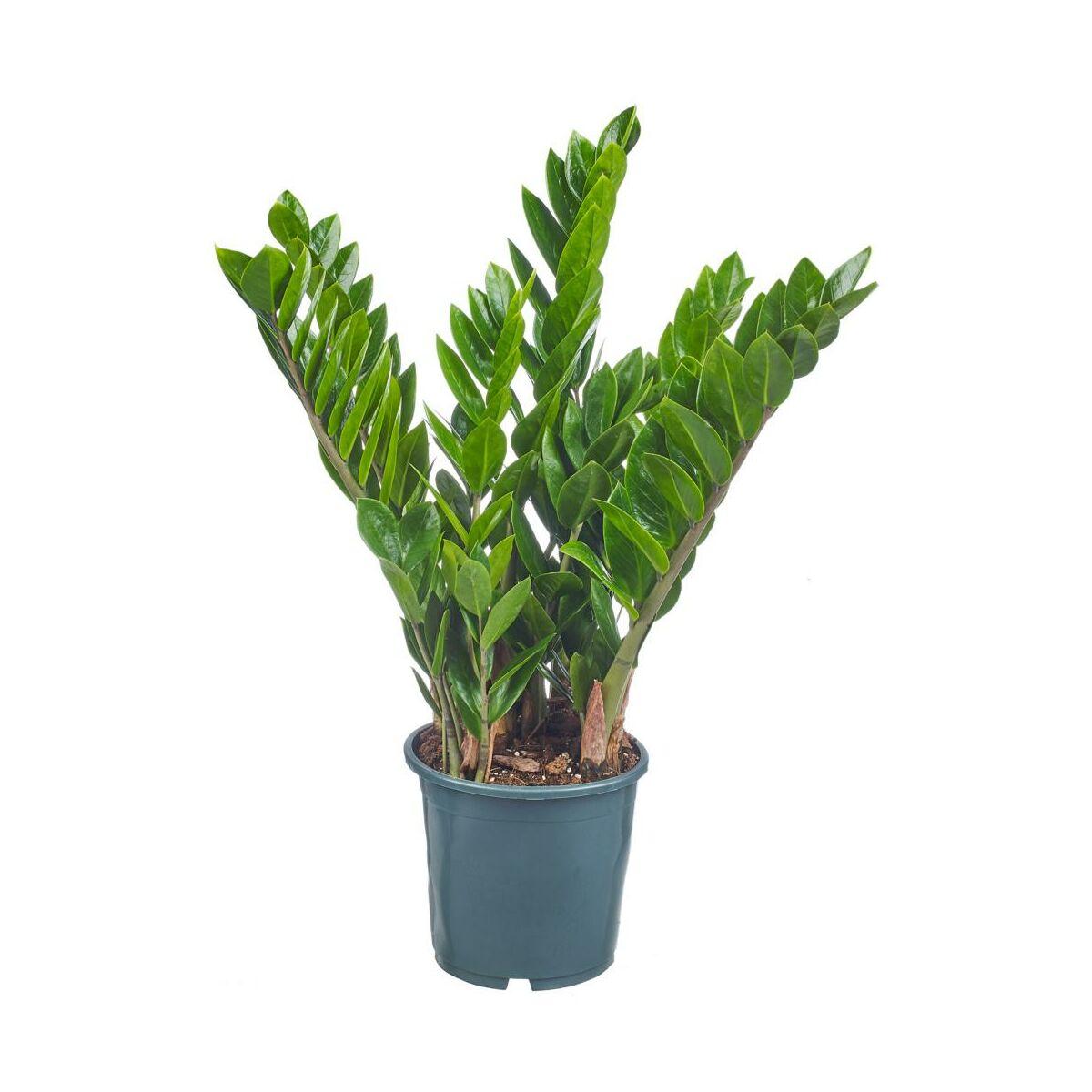 Zamiokulkas zamiolistny 70 cm - Rośliny zielone - w atrakcyjnej cenie w  sklepach Leroy Merlin.