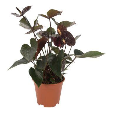 Anturium Andreego 'Black Queen' 60 cm